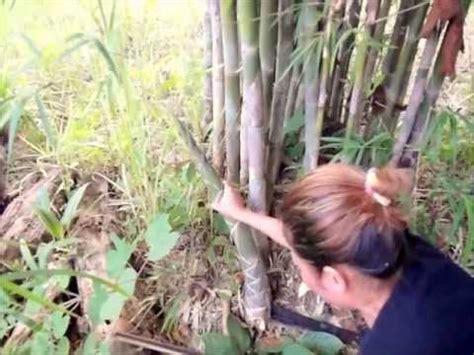 les pousses de bambou tout le monde connait mais