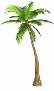 Palm Tree Transparent Background Image  43071