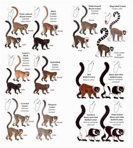 Madagascar Language Chart Lemurs Of Madagascar Pocket Identification Guide