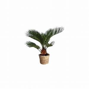 Cache Pot Plante : cycas cache pot plantes et jardins ~ Teatrodelosmanantiales.com Idées de Décoration