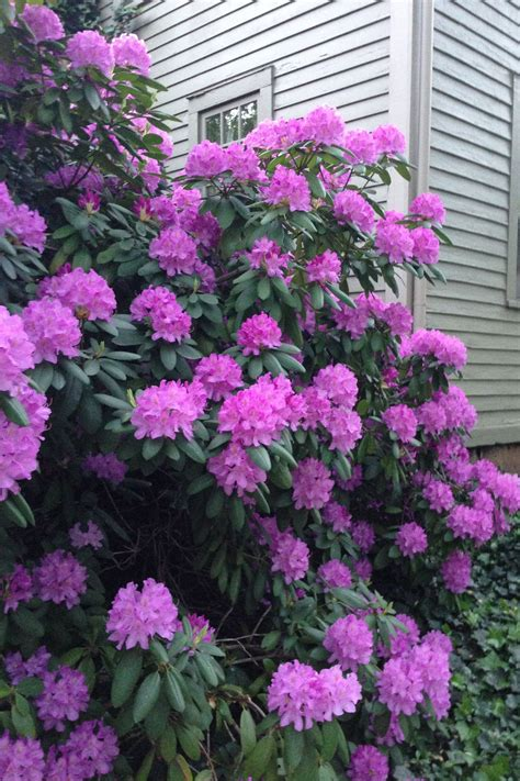 rhododendron trees for sale rhododendron just purchased 4 of these at a nursery plant sale i have no idea of the color