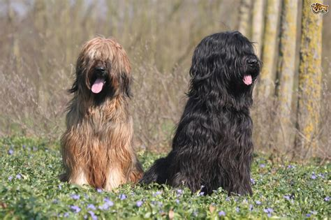 briard dog breed information buying advice