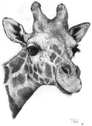 pin   info  art giraffen zeichnen