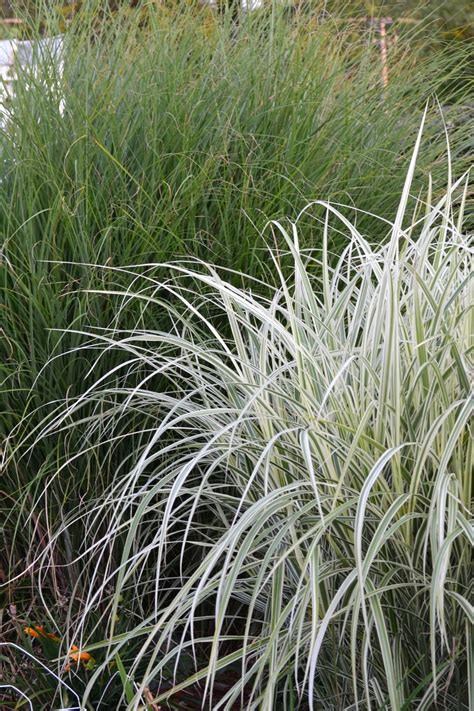 different grasses two different grasses my flowers photographed by me pinterest