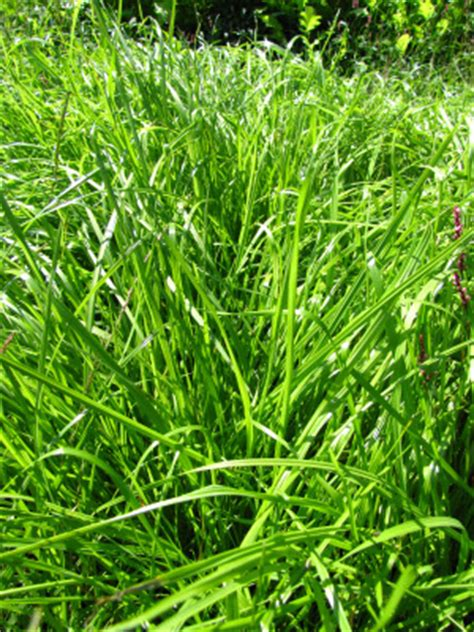 annual ryegrass cover crop