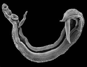 Of Schistosoma Eggs