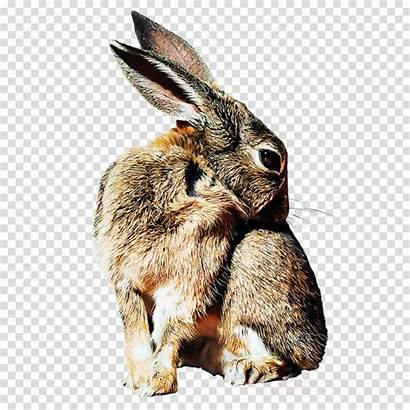 Cottontail Clipart Rabbit Clipground Rabbits Hares