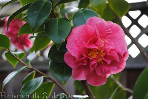 types of camellia flowers camellias in my garden harmony in the garden