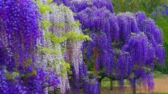 lavender flowers wisteria color wallpaper