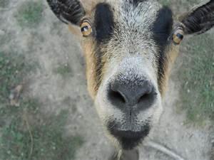 Dwarf Nigerian Pygmy Goat (Bailey) | Farm Life | Pinterest