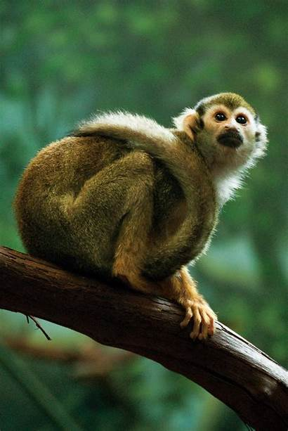 Squirrel Monkey Common Friendly Monkeys Zoo Species