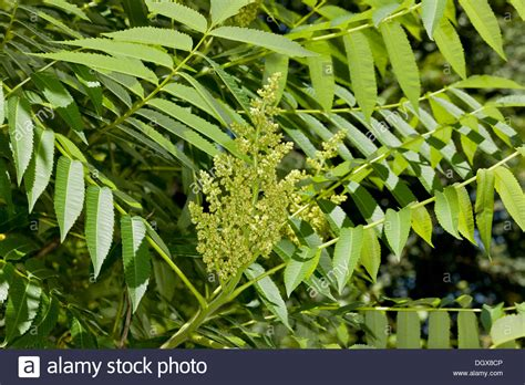 common garden shrubs sumac rhus typhina in flower common garden shrub from north stock photo royalty free image