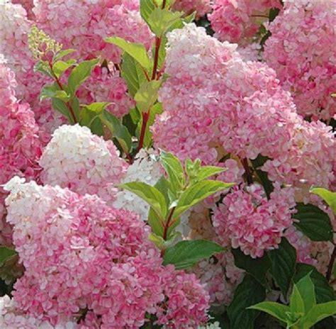 hortensia en pot exterieur kolibri kert 233 szet bug 225 s hortenzia vanille fraise 218 jdons 225 g