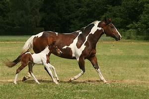 American Paint Horse Info, Origin, History, Pictures ...