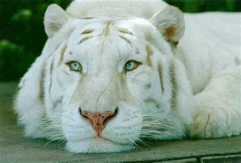 Beautiful White Lion Lions Pinterest