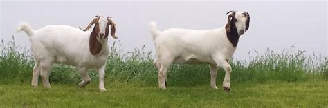 american goat society forms american boer goat association abga org