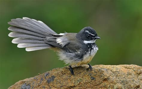 bird spots in southern india white spotted fantail