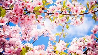 Blossom Cherry Blossoms Wallpapers Spring Desktop Pink