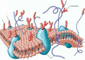 Structure Of The Plasma Membrane
