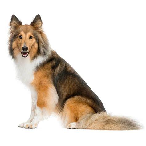sheltie dog breed   shelties