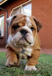 White and brown bulldog puppy.. | Dogs, Bulldog puppies ...