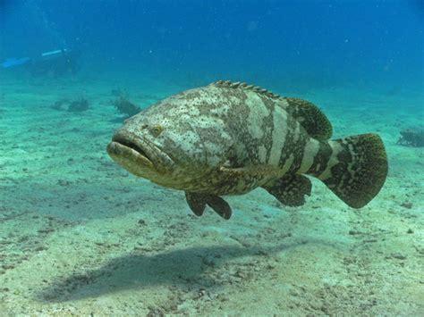 grouper goliath groupers species atlantic rainbow molasses turtle deep teeth wreck washington many