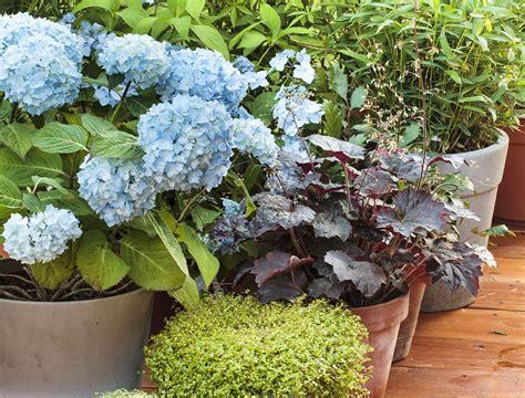 taille hortensia en pot arbuste en pot nos conseils pour les entretenir d 233 tente jardin