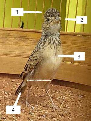 zona tips indonesia  membedakan jenis kelamin burung
