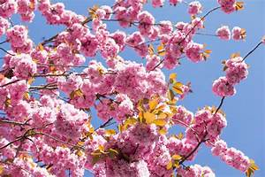 Great Spots To See Cherry Trees In Washington  D C