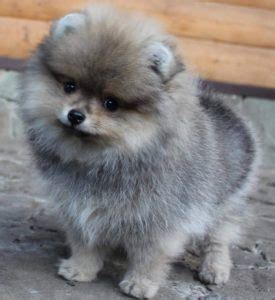 gray pomeranian puppy goldenacresdogscom