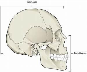 Diagram  Blank Skull Diagram To Label