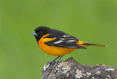 what is marylands state bird