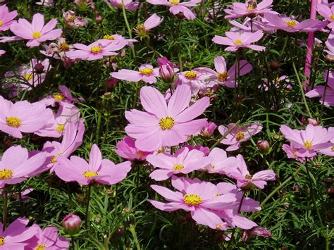picture of cosmos flower cosmos plant wikipedia