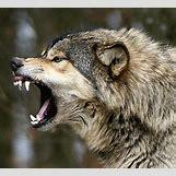 German Shepherd Face Profile | 350 x 318 jpeg 29kB