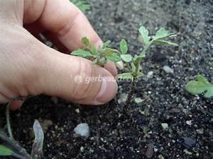 Quand Semer Les Tomates : eclaircir un semis trop serr ~ Melissatoandfro.com Idées de Décoration