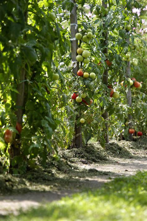So Pflanzt Du Tomaten  Eine Anleitung