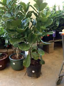 cheap and easy to find fiddle leaf fig trees green notebook