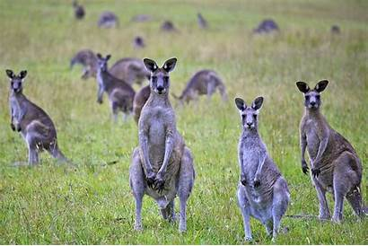 Kangaroo Kangaroos Commercial Largest Slaughter Portrait Victims