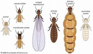 termite | insect | Britannica.com