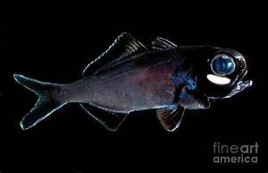Splitfin Flashlight Fish Photograph by Dant Fenolio