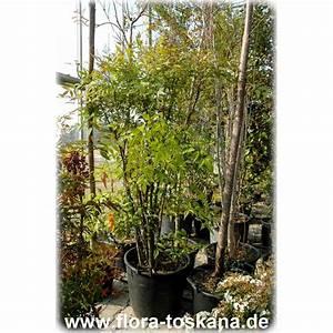 Bambus Im Garten Vernichten : bambus winterhart gartenbambus winterhart gartens max ~ Michelbontemps.com Haus und Dekorationen