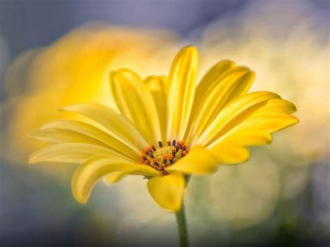 nice yellow flower desktop wallpaper hd
