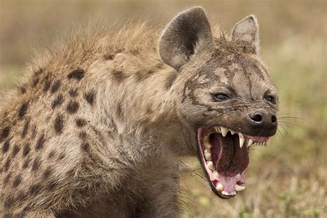 hyena mauls teens face  kruger national park tent attack