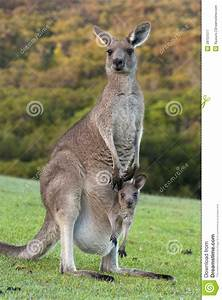 Kangaroo With Baby Joey In Pouch Stock Image - Image of ...