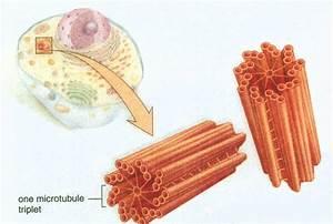 Pin Centrioles Centrosome on Pinterest