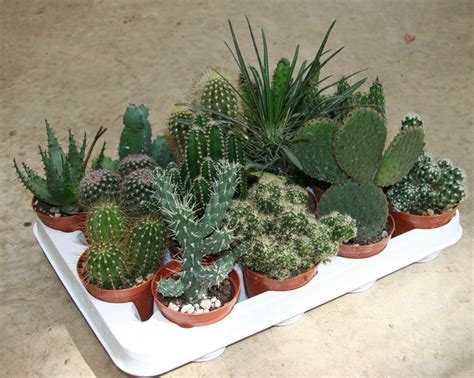 piante bonsai da interno piante grasse diam 8 succulents cactus and bonsai