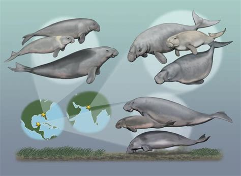 species ocean manatees sea dugongs dugong mermaids different multiple marine mammals myth extinct once sirenians seacow sirenian manatee coexisted cow