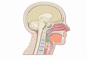 Larnyx Anatomy Quiz  The Glottis And Vocal Folds