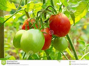 Red And Green Tomatoes Stock Photos - Image: 7679043