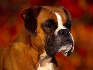 Boxer Dog Wallpapers - Wallpaper Cave